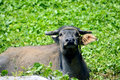 Carabao the is a water buffalo in the philippines this work animal is on luzon island Royalty Free Stock Photography