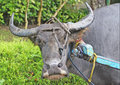 Carabao at Work Stock Image