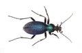 Carabidae Royalty Free Stock Photo