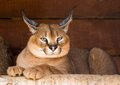 Caracal an armor a deserted steppe lynx Royalty Free Stock Image