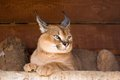 Caracal an armor a deserted steppe lynx Stock Photography
