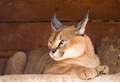 Caracal an armor a deserted steppe lynx Stock Photos