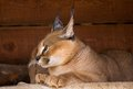 Caracal an armor a deserted steppe lynx Royalty Free Stock Photo