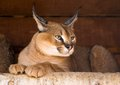 Caracal an armor a deserted steppe lynx Royalty Free Stock Photos
