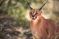 Caracal in harnas foundation namibia Royalty Free Stock Photos