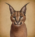 Caracal months old in front of brown background Royalty Free Stock Photo