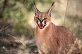 Caracal with open month a close view of a in namibia Stock Photography
