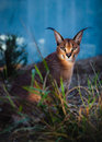 Royalty Free Stock Photos Caracal