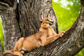 Caracal in tree. Royalty Free Stock Image