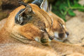 Caracal wild cats lying on the ground and sleeping Stock Photo