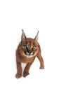 Caracal Young Cat Royalty Free Stock Photo