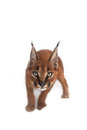 Caracal Young Cat Royalty Free Stock Image