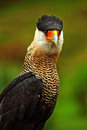Caracara Bird of Prey Royalty Free Stock Photo