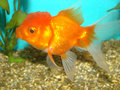 Carassius auratus goldfish lion's head Royalty Free Stock Images