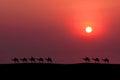 Caravan camel Royalty Free Stock Photo