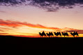 Caravan camel and sunset sky Royalty Free Stock Image