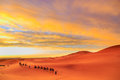Caravan of camels with tourist in the desert at sunset against a Royalty Free Stock Photo