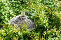 Carboy with wickerwork in a bedding between shrubs Stock Photo