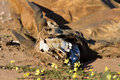 Carcass of an eland laying dead in kalahar kalahari next to yellow flowers Royalty Free Stock Photos