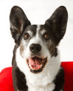 Cardigan Welsh Corgi Stock Photos