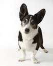 Cardigan Welsh Corgi Royalty Free Stock Photo