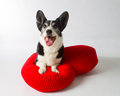 Cardigan Welsh Corgi Stock Image