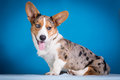 Cardigan welsh corgi puppy on blue background sitting Stock Image