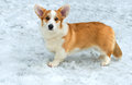 Cardigan Welsh corgi. Royalty Free Stock Photo