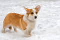 Cardigan welsh corgi is in the snow Stock Photos