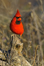 Cardinal Royalty Free Stock Photography