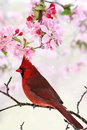 Cardinal amid spring tree blossoms beautiful red sitting pink Royalty Free Stock Photos