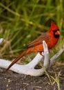 Cardinal on an antler Royalty Free Stock Photo