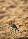Cardinal on beach a red crested the in kihei Royalty Free Stock Photo