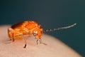 Cardinal Beetle Stock Images