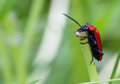 Cardinal Beetle Macro Royalty Free Stock Photo