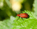 Cardinal Beetle Royalty Free Stock Photo
