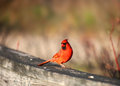 Cardinal bird Stock Photo