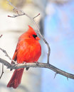Cardinal (Cardinalis cardinalis) Royalty Free Stock Photo
