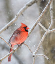 Cardinal cardinalis cardinalis male northern perched on a tree branch with snow Stock Image