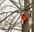 Cardinal a closeup photo of a bird in winter Stock Photos