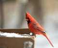 Cardinal a closeup photo of a bird in winter Stock Images