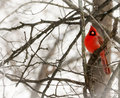 Cardinal a closeup photo of a bright red bird in winter Stock Photos