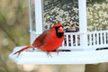 Cardinal eating enjoying his food by himyself Stock Images