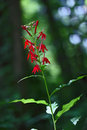 Cardinal flower lobelia cardinalis wild Royalty Free Stock Photo