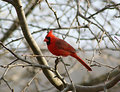 Cardinal in a Leafless Tree Royalty Free Stock Photo
