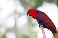A cardinal lory is standing one a tree Royalty Free Stock Photos