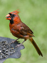 Cardinal male feeding on sunflower seeds Stock Image