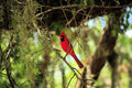 Cardinal Red Bird on a Tree Limb Stock Photography