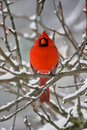 Cardinal In Snow Stock Images