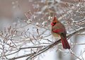 Cardinal In Snow Royalty Free Stock Photo